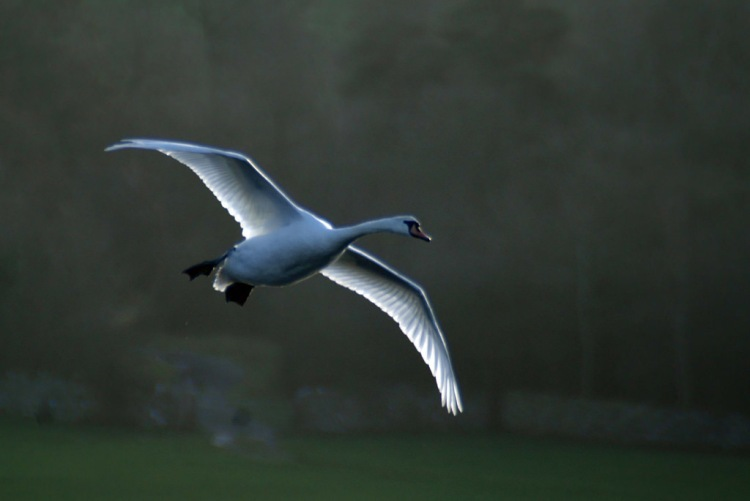 mute-swan-in-flight-gldzy-flickr